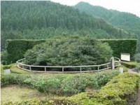 大茶樹の写真