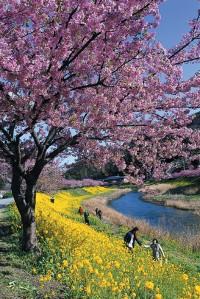 みなみの桜と菜の花畑の写真