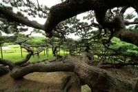 五枝の松の写真