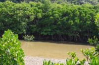 Gesashi Bay's Mangrove Forest