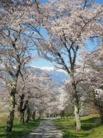 鵜山の桜並木の写真