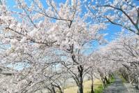 都田川桜堤の写真