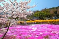 芝桜祭りの写真