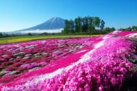 三島さんの芝ざくら庭園の写真