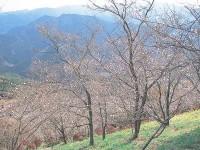桜山公園(鬼石の冬桜)の写真