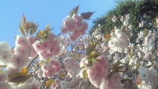 うえの桜まつりの写真