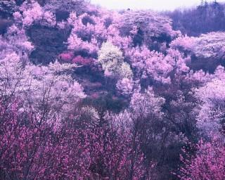 花見山公園の写真