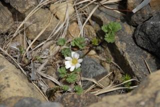 アポイ岳高山植物群落の写真