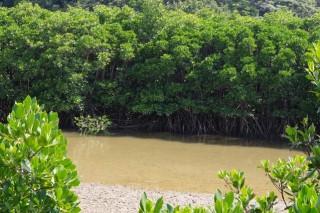 慶佐次湾のヒルギ林の写真