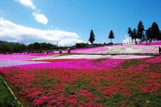 羊山公園(芝桜の丘)の写真