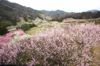 七折梅園の写真