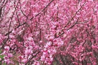 広橋梅林の写真