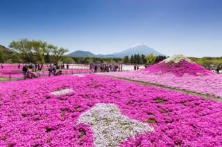 富士芝桜祭りの写真