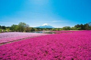 富士本栖湖リゾート(芝桜公園)の写真