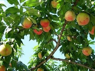大原観光果樹園の写真