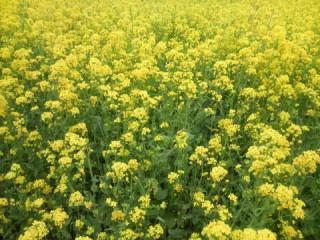高倉菜の花畑の写真