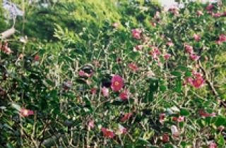 椿の里・椿公園の写真