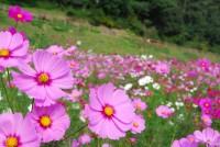 横須賀市くりはま花の国で約100万本の開花リレー「コスモス園オープン」開催